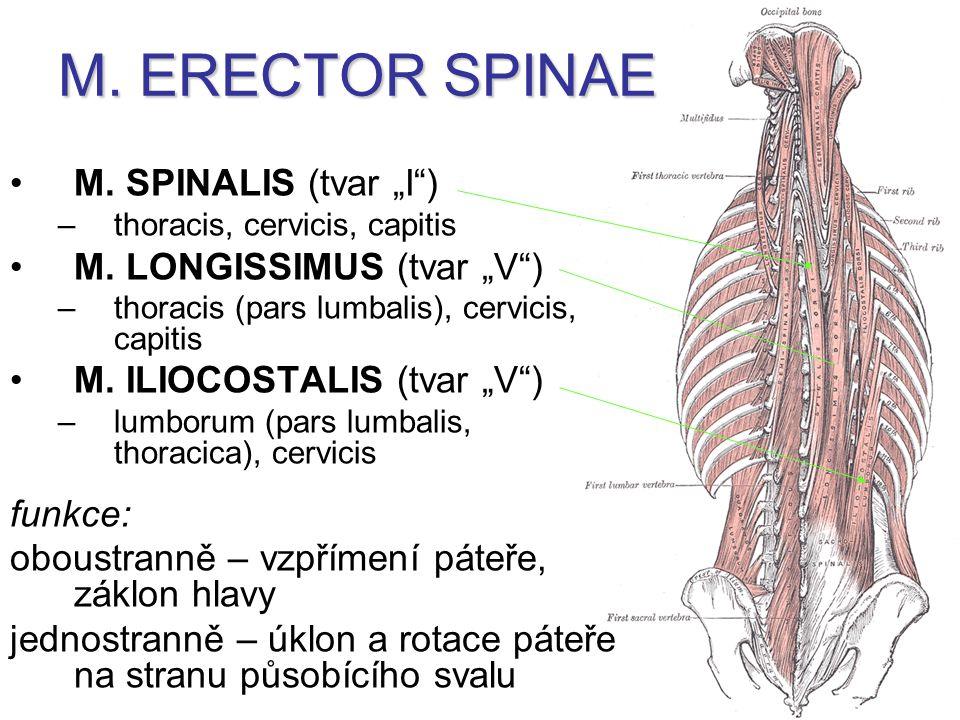 "M. ERECTOR SPINAE M. SPINALIS (tvar ""I ) M. LONGISSIMUS (tvar ""V )"
