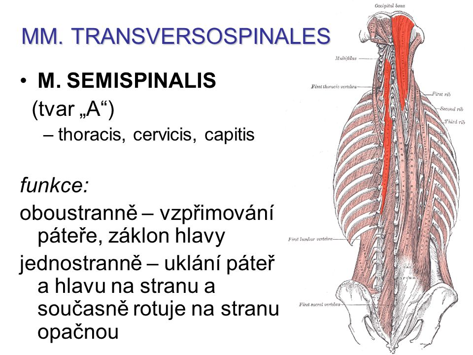 MM. TRANSVERSOSPINALES