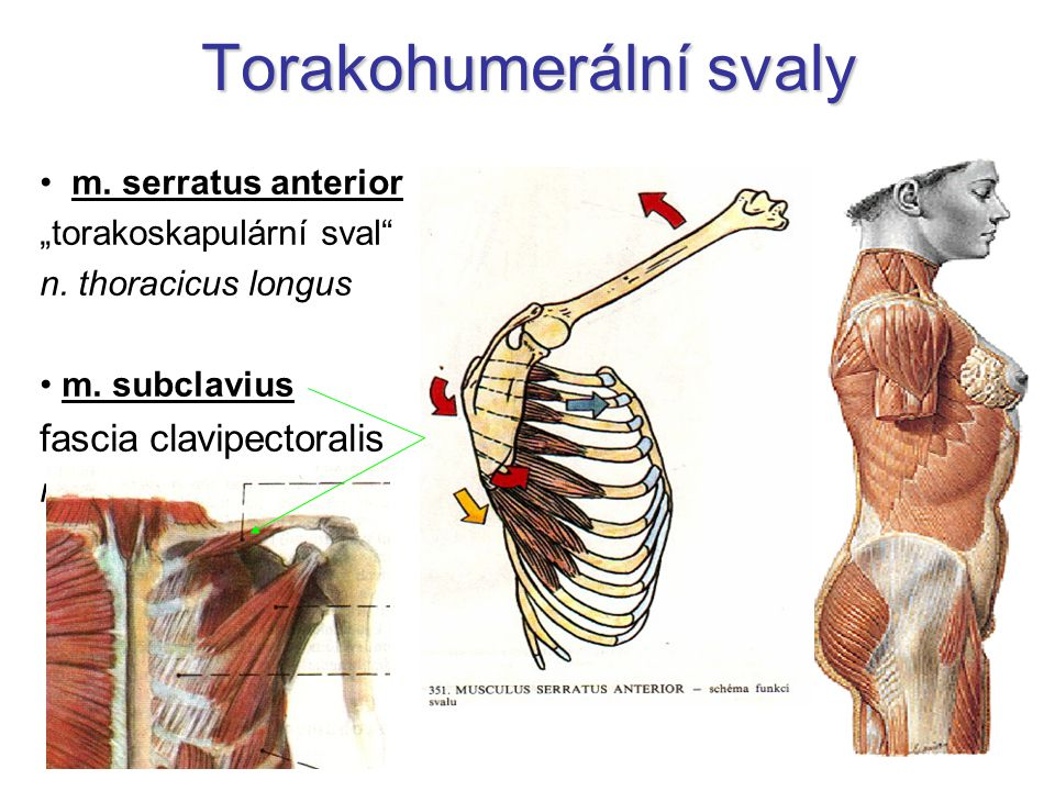 Torakohumerální svaly