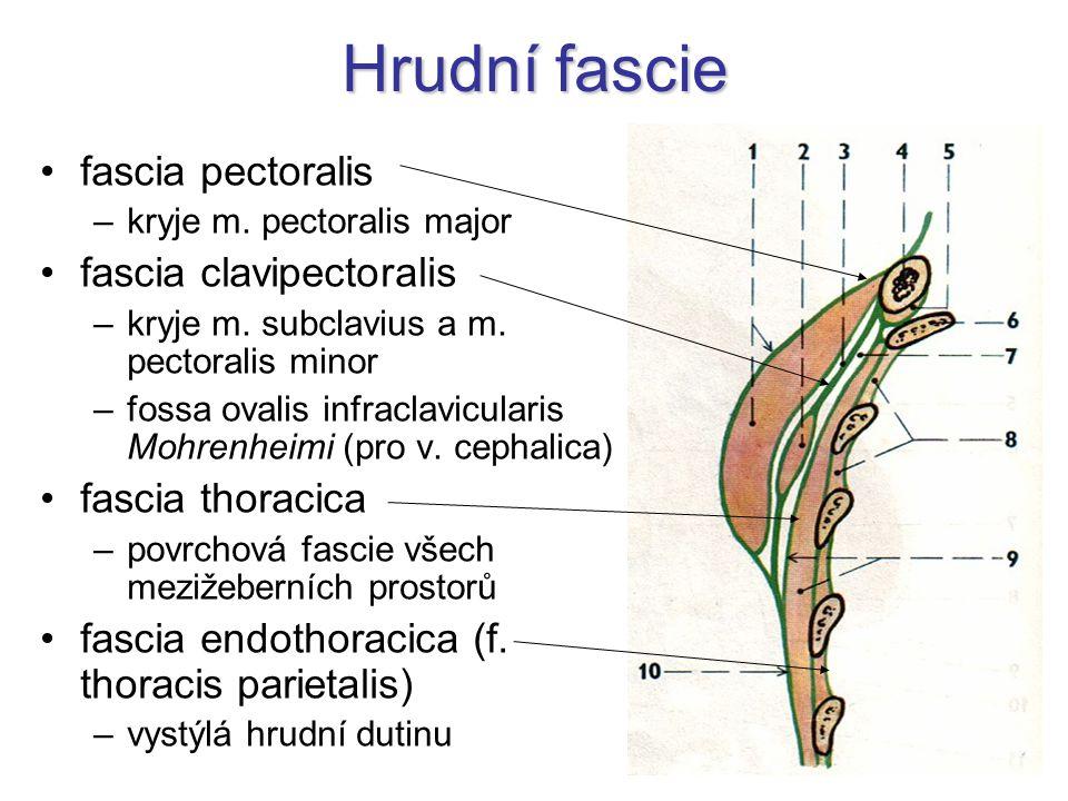 Hrudní fascie fascia pectoralis fascia clavipectoralis