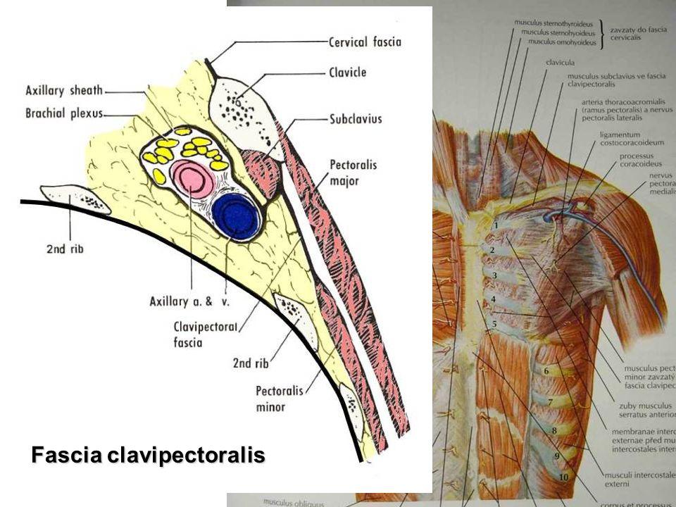 Fascia clavipectoralis