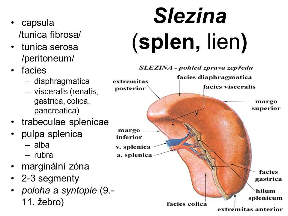 Slezina (splen, lien) capsula /tunica fibrosa/