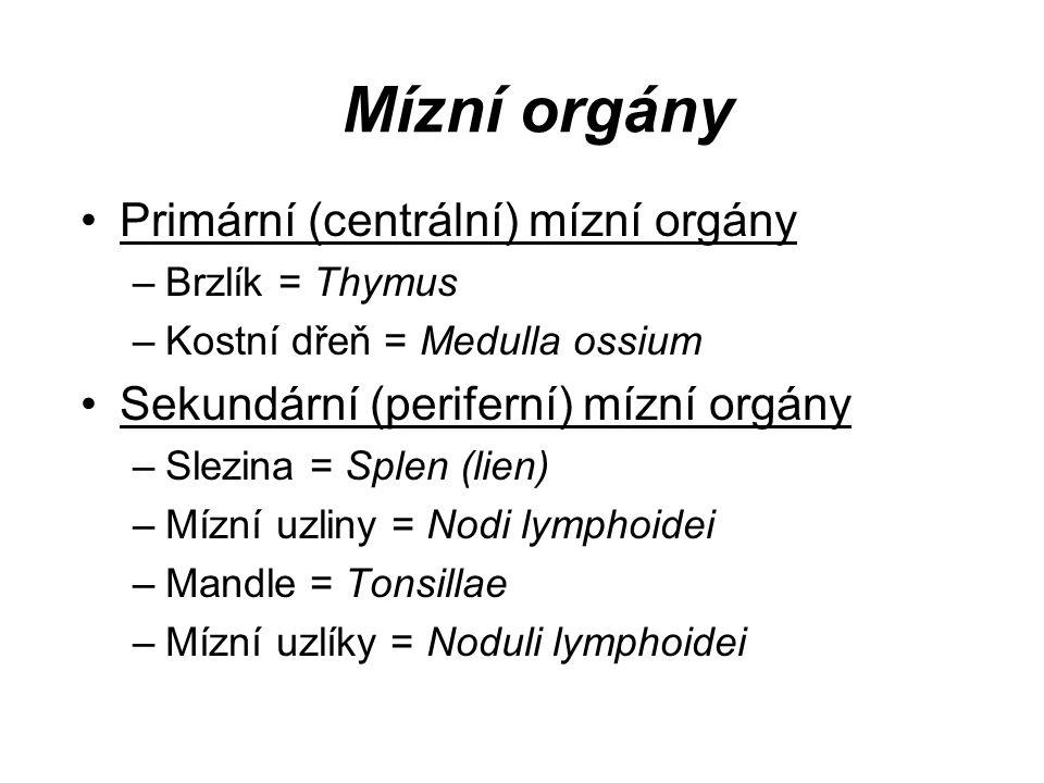 Mízní orgány Primární (centrální) mízní orgány