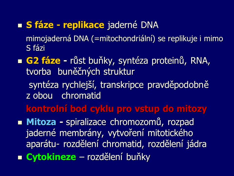 S fáze - replikace jaderné DNA