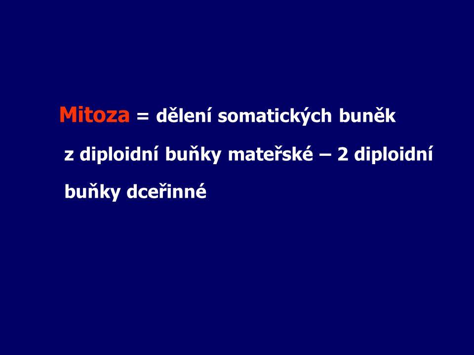 Mitoza = dělení somatických buněk