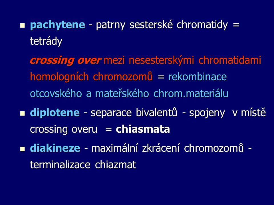 pachytene - patrny sesterské chromatidy = tetrády