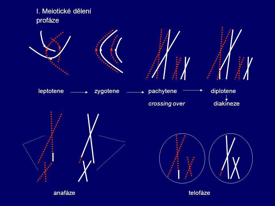 I. Meiotické dělení profáze leptotene zygotene pachytene diplotene
