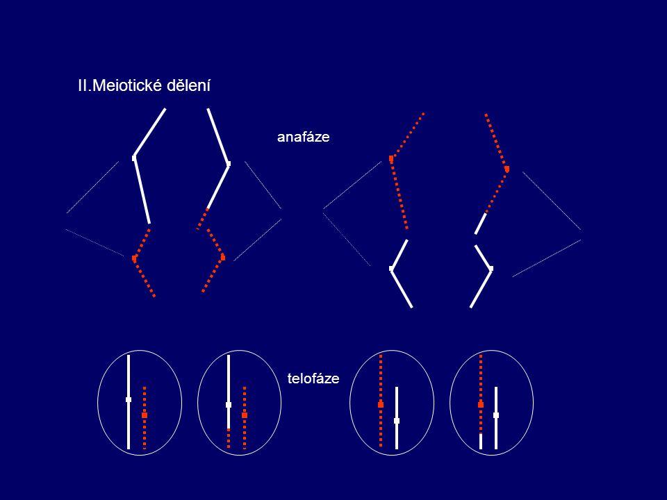 II.Meiotické dělení anafáze telofáze