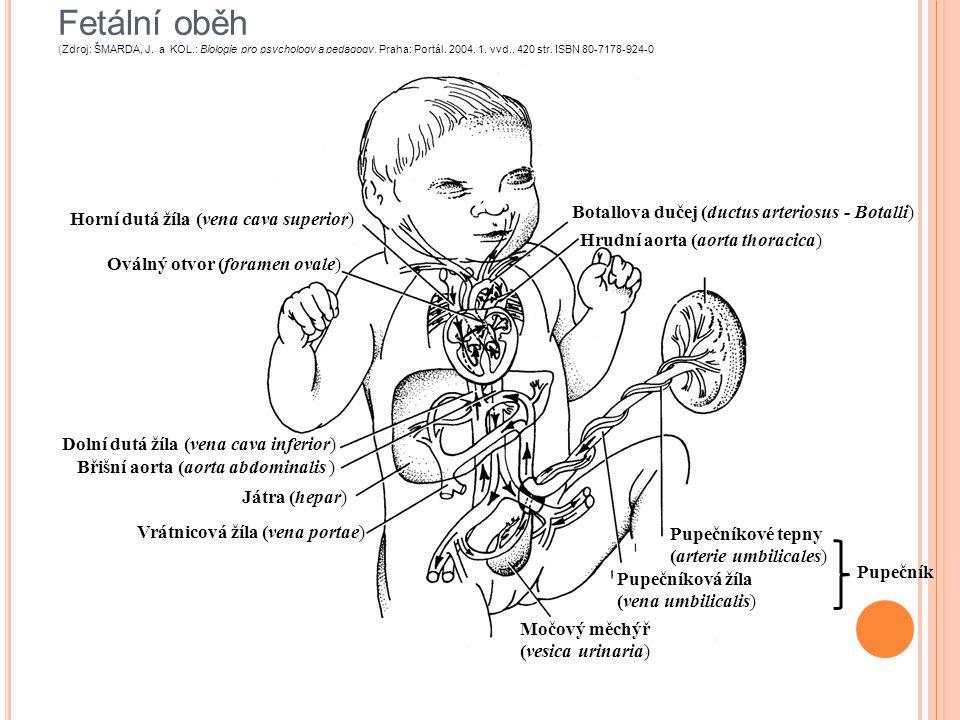 Fetální oběh (Zdroj: ŠMARDA, J. a KOL