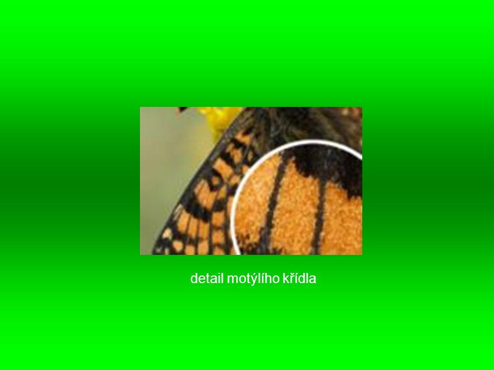 detail motýlího křídla
