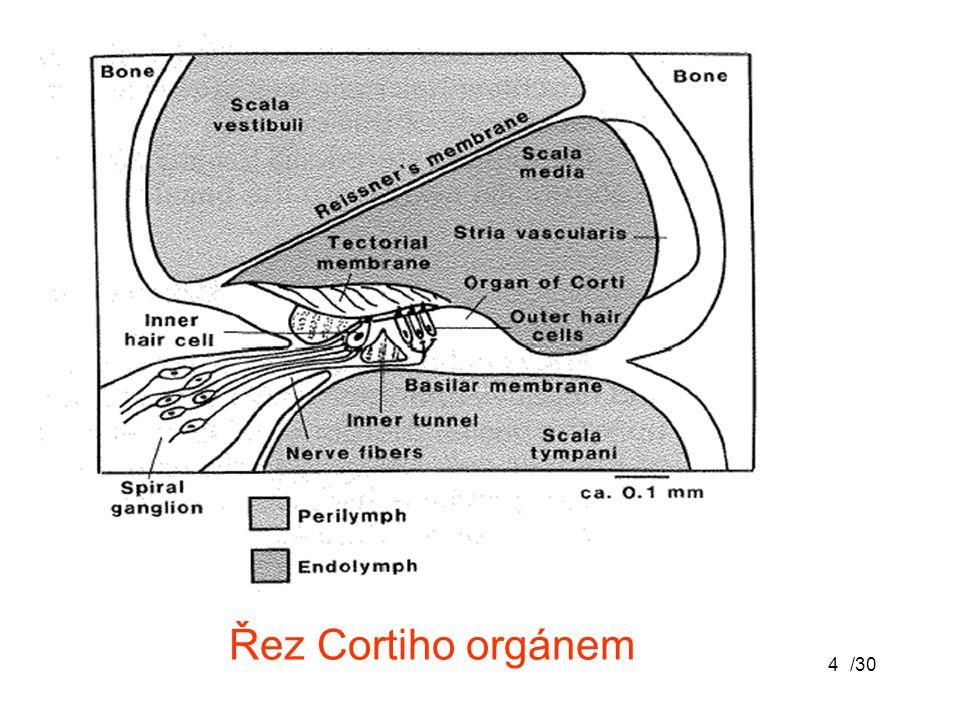 Řez Cortiho orgánem /30