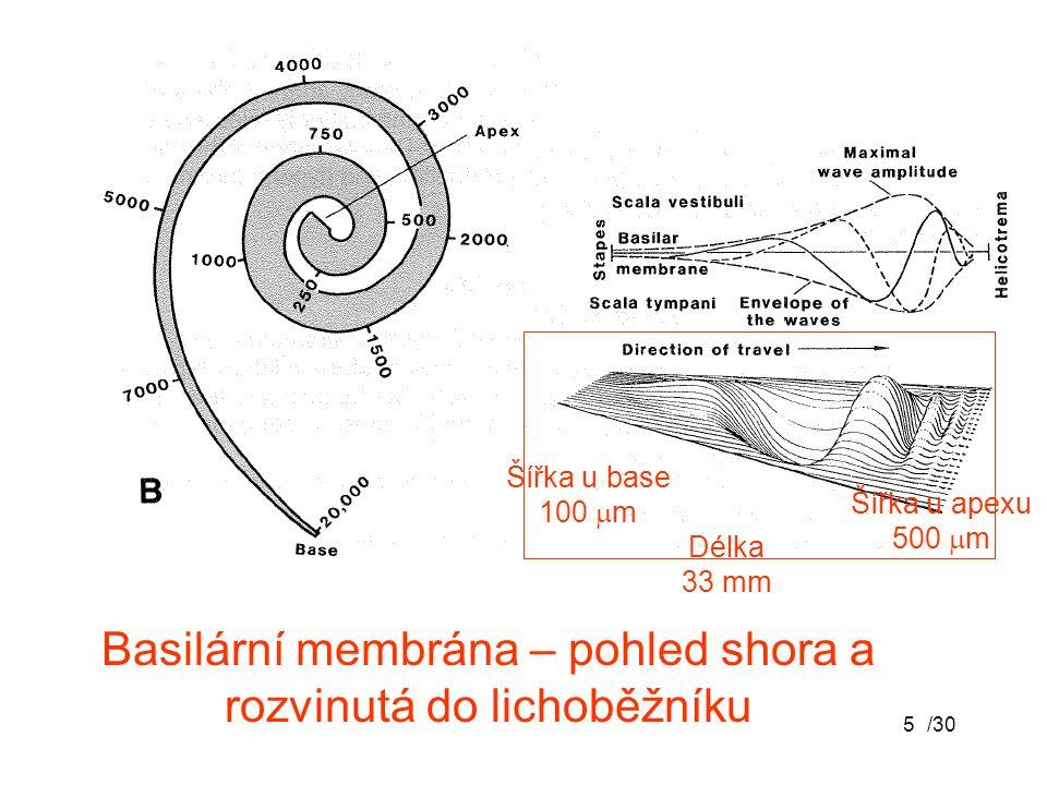Basilární membrána – pohled shora a rozvinutá do lichoběžníku