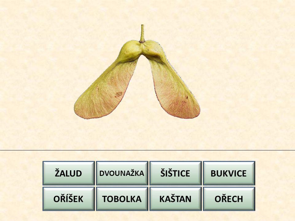 ŽALUD ŠIŠTICE BUKVICE OŘÍŠEK TOBOLKA KAŠTAN OŘECH