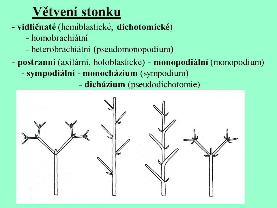 Větvení stonku - vidličnaté (hemiblastické, dichotomické)