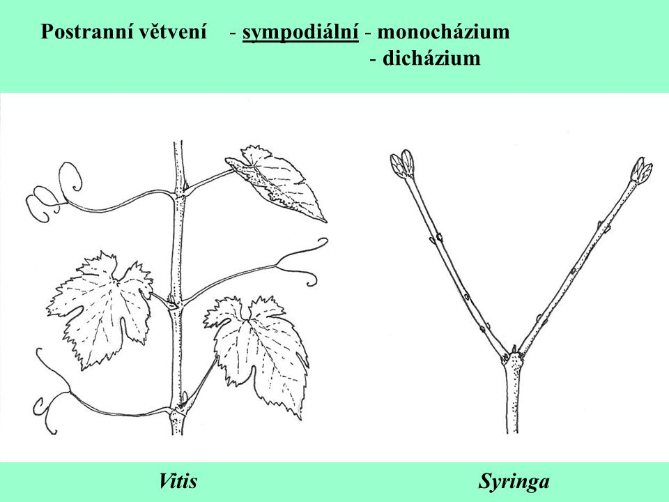 Postranní větvení - sympodiální - monocházium