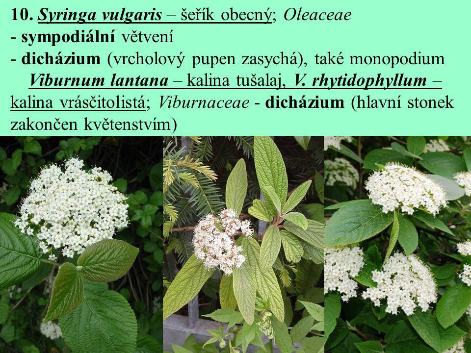 10. Syringa vulgaris – šeřík obecný; Oleaceae