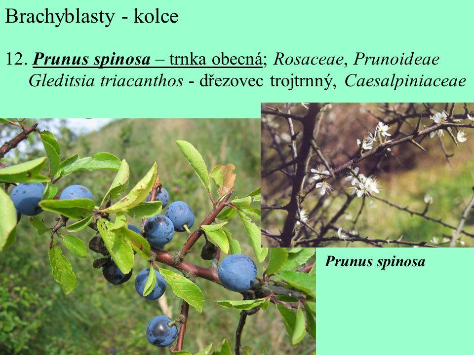 Brachyblasty - kolce 12. Prunus spinosa – trnka obecná; Rosaceae, Prunoideae. Gleditsia triacanthos - dřezovec trojtrnný, Caesalpiniaceae.