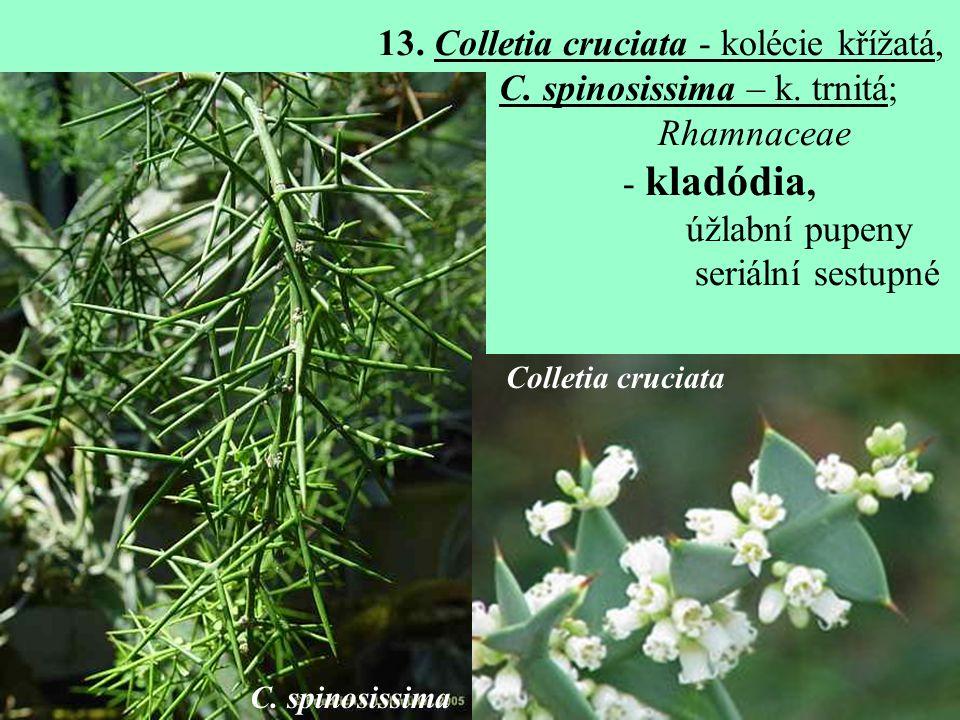 13. Colletia cruciata - kolécie křížatá, C. spinosissima – k. trnitá;