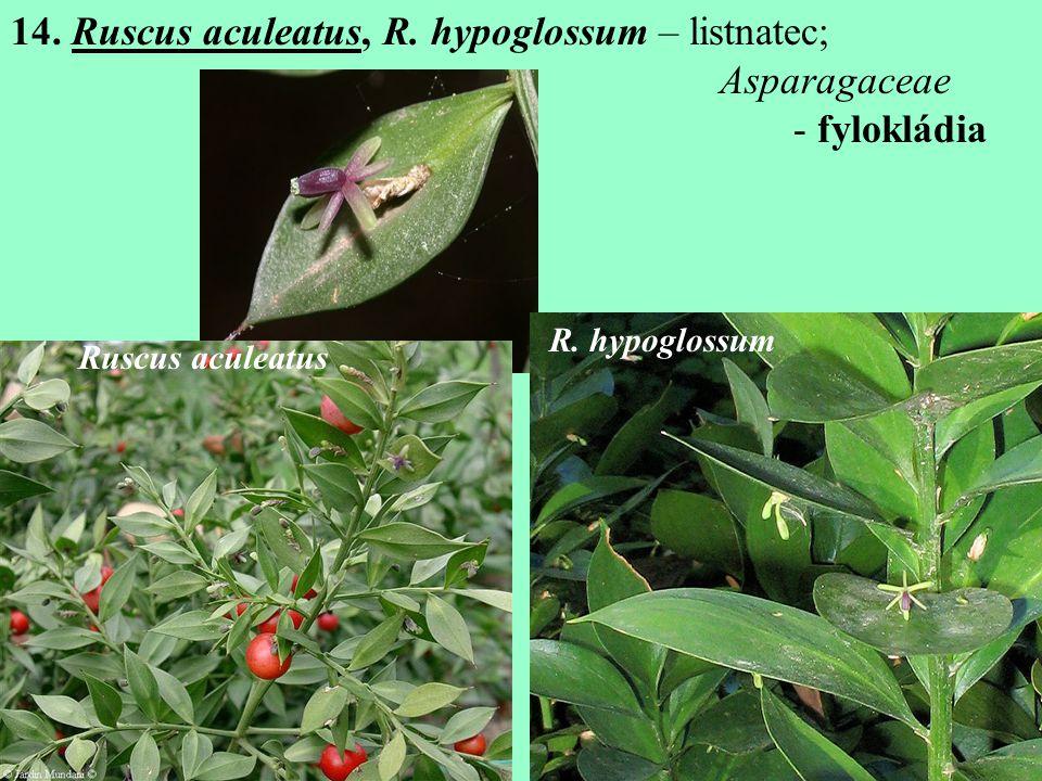 14. Ruscus aculeatus, R. hypoglossum – listnatec; Asparagaceae