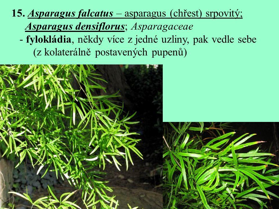 15. Asparagus falcatus – asparagus (chřest) srpovitý;