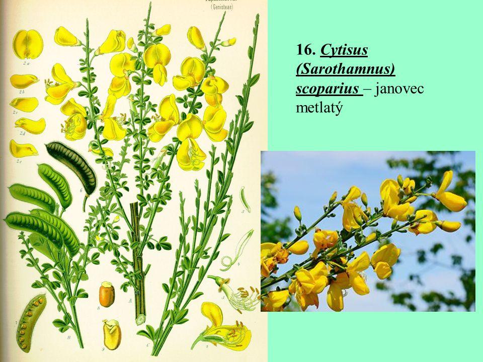 16. Cytisus (Sarothamnus) scoparius – janovec metlatý