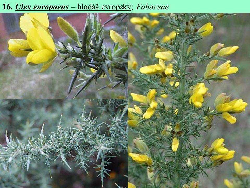 16. Ulex europaeus – hlodáš evropský; Fabaceae