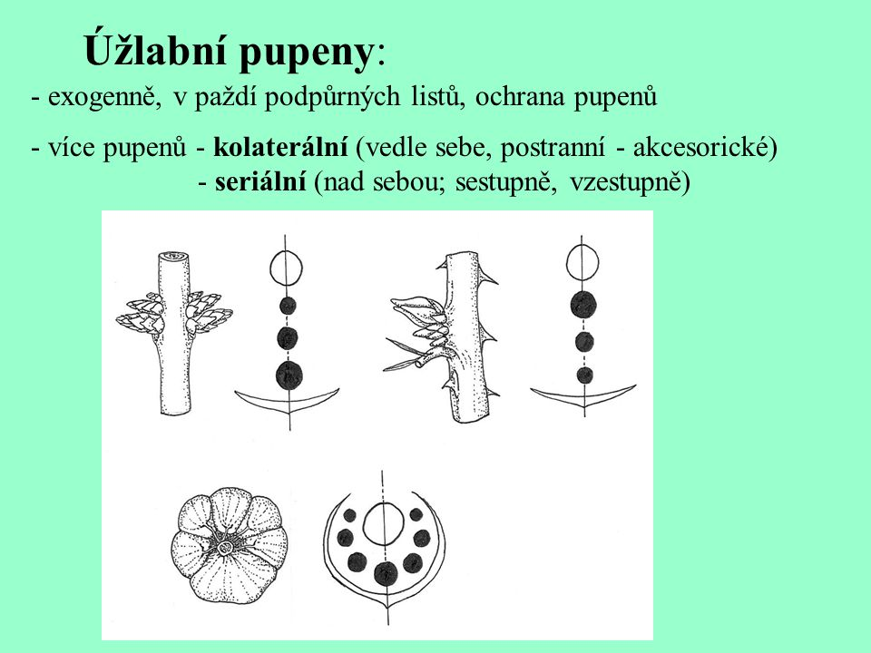 Úžlabní pupeny: - exogenně, v paždí podpůrných listů, ochrana pupenů