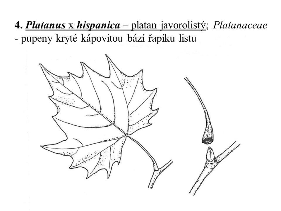 4. Platanus x hispanica – platan javorolistý; Platanaceae