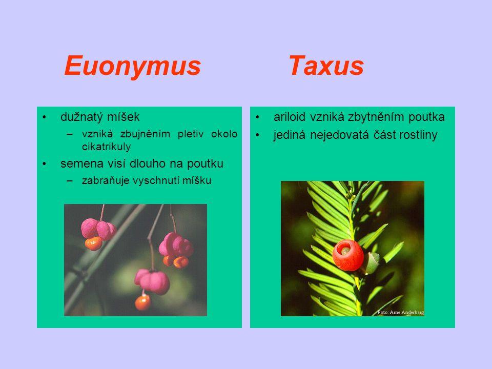 Euonymus Taxus dužnatý míšek semena visí dlouho na poutku