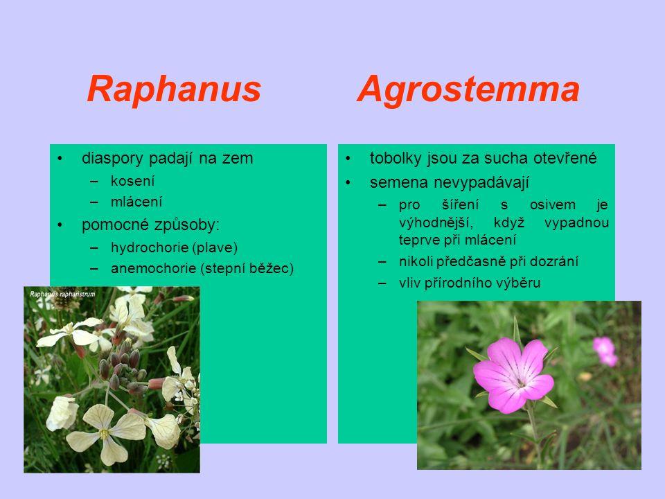 Raphanus Agrostemma diaspory padají na zem pomocné způsoby: