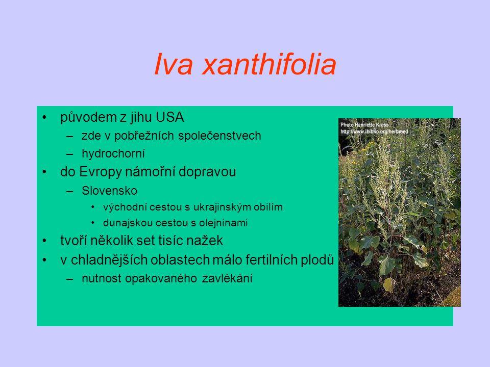 Iva xanthifolia původem z jihu USA do Evropy námořní dopravou