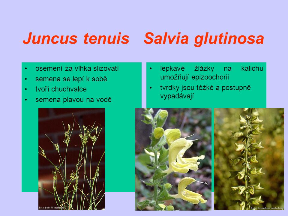 Juncus tenuis Salvia glutinosa