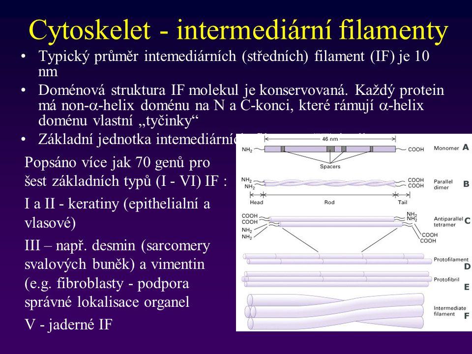Cytoskelet - intermediární filamenty