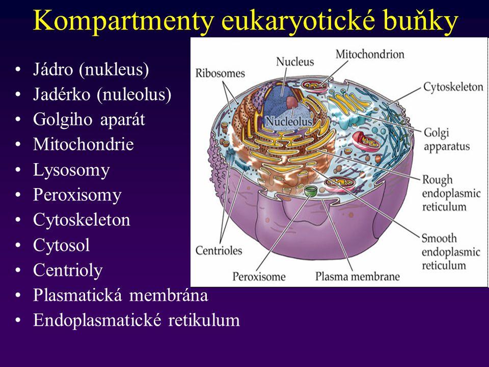 Kompartmenty eukaryotické buňky