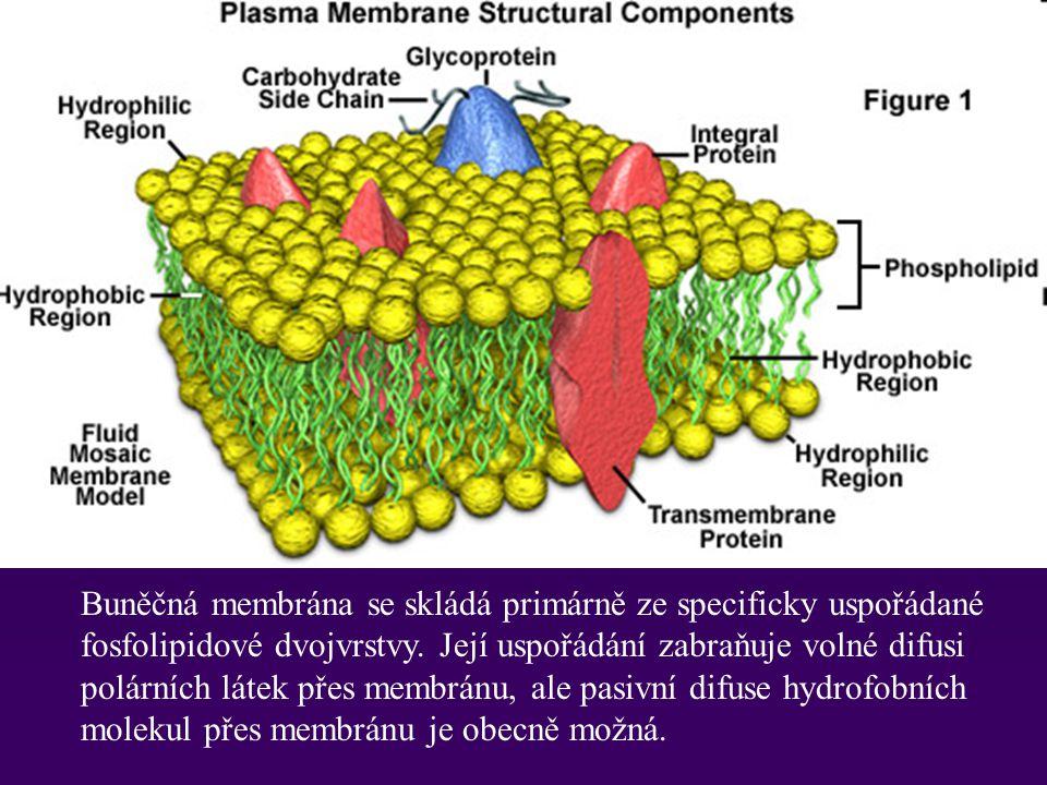 Buněčná membrána se skládá primárně ze specificky uspořádané fosfolipidové dvojvrstvy.