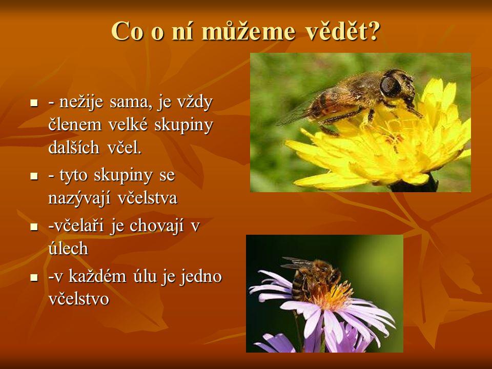 Co o ní můžeme vědět - nežije sama, je vždy členem velké skupiny dalších včel. - tyto skupiny se nazývají včelstva.