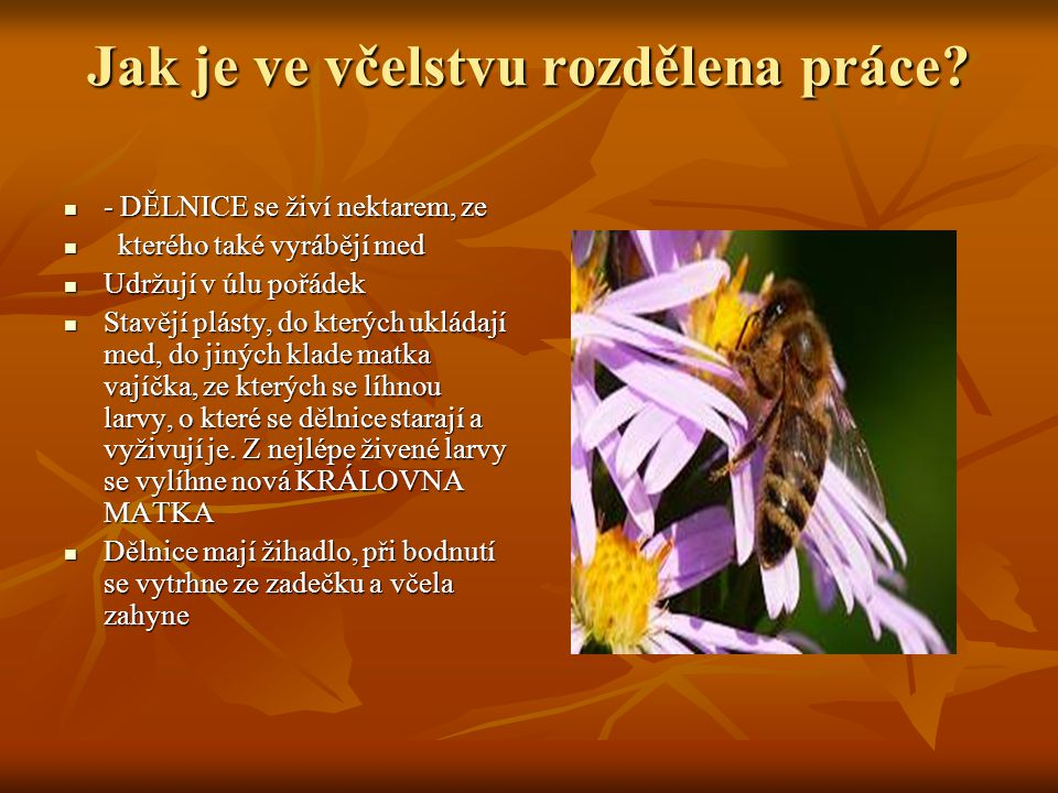 Jak je ve včelstvu rozdělena práce