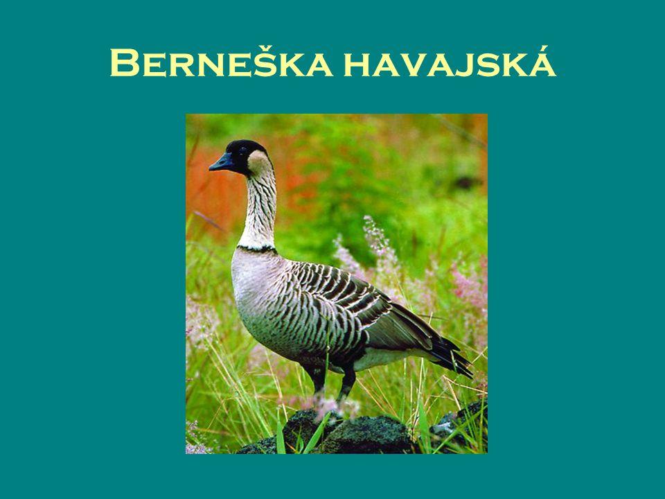 Berneška havajská
