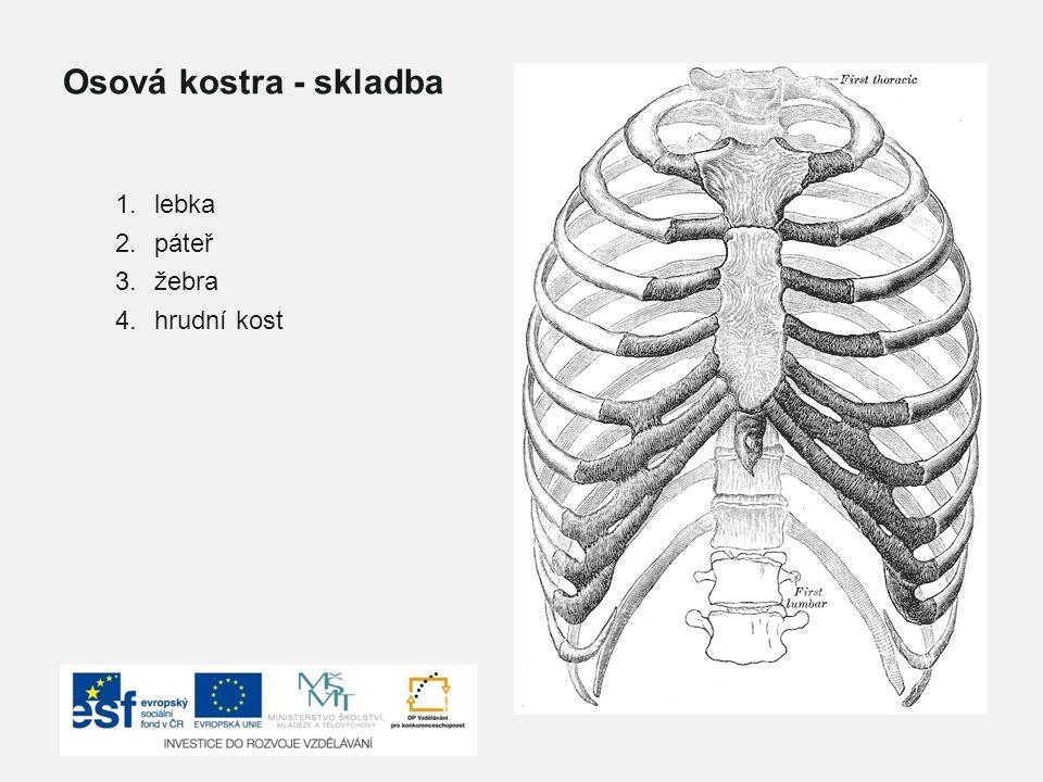 Osová kostra - skladba lebka páteř žebra hrudní kost