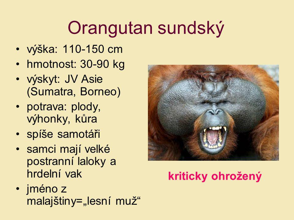 Orangutan sundský výška: 110-150 cm hmotnost: 30-90 kg