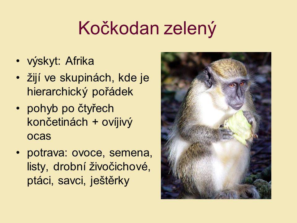 Kočkodan zelený výskyt: Afrika