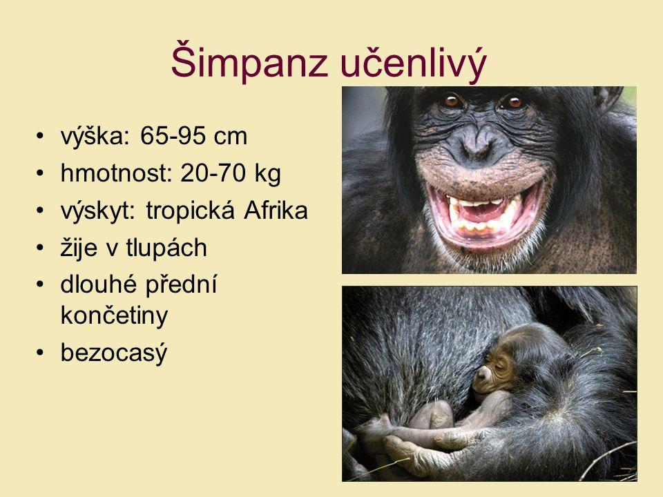 Šimpanz učenlivý výška: 65-95 cm hmotnost: 20-70 kg