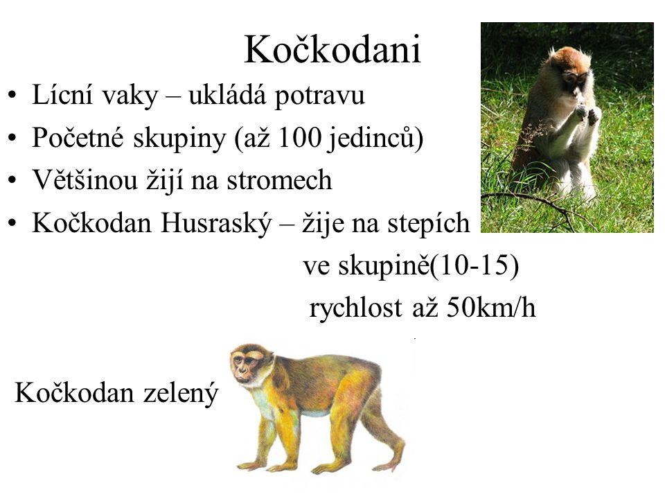 Kočkodani Lícní vaky – ukládá potravu Početné skupiny (až 100 jedinců)