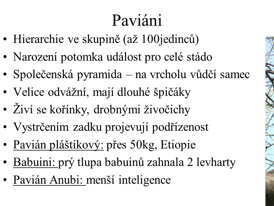 Paviáni Hierarchie ve skupině (až 100jedinců)