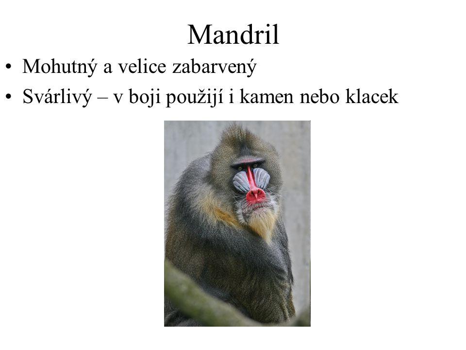 Mandril Mohutný a velice zabarvený