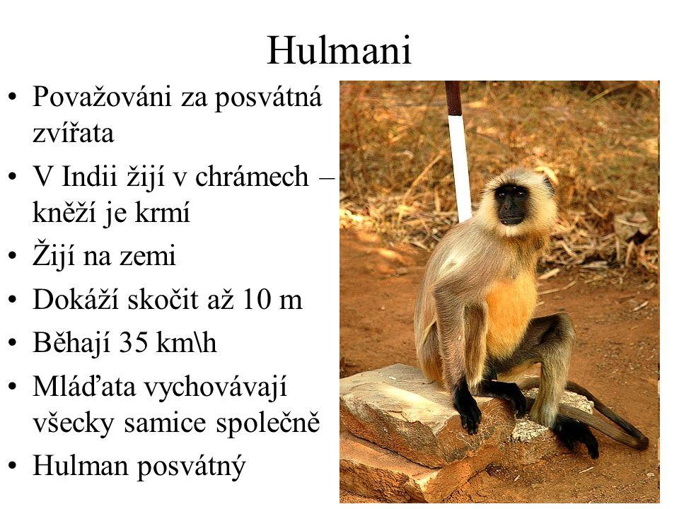 Hulmani Považováni za posvátná zvířata