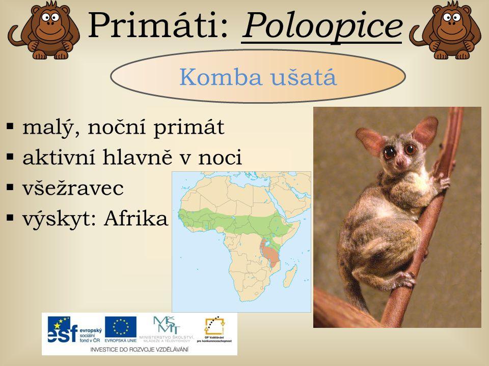 Primáti: Poloopice Komba ušatá malý, noční primát