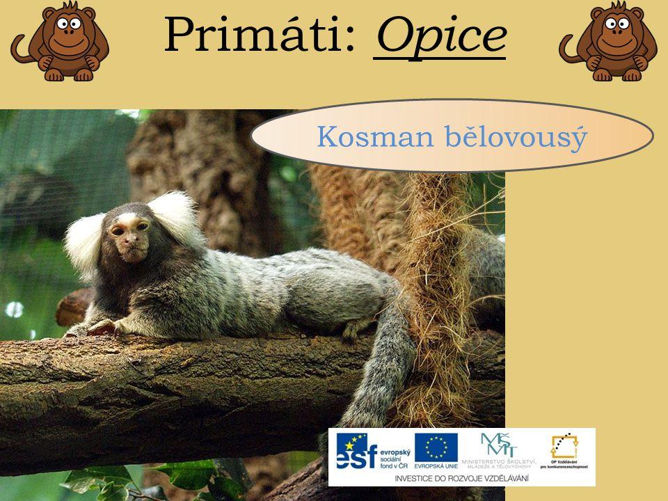 Primáti: Opice Kosman bělovousý