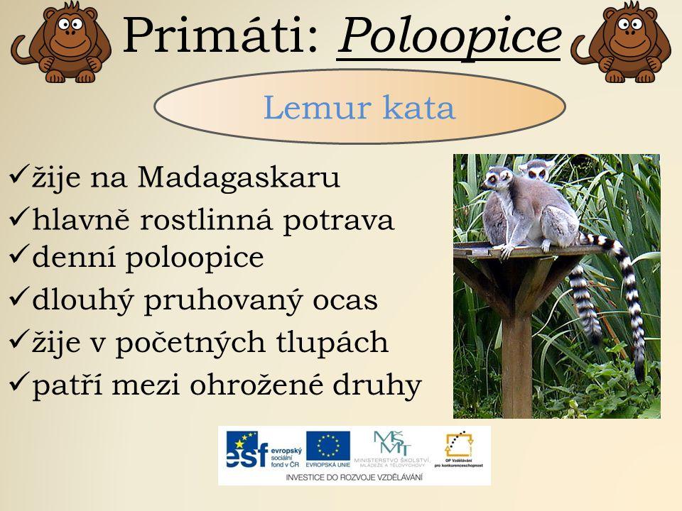 Primáti: Poloopice Lemur kata žije na Madagaskaru