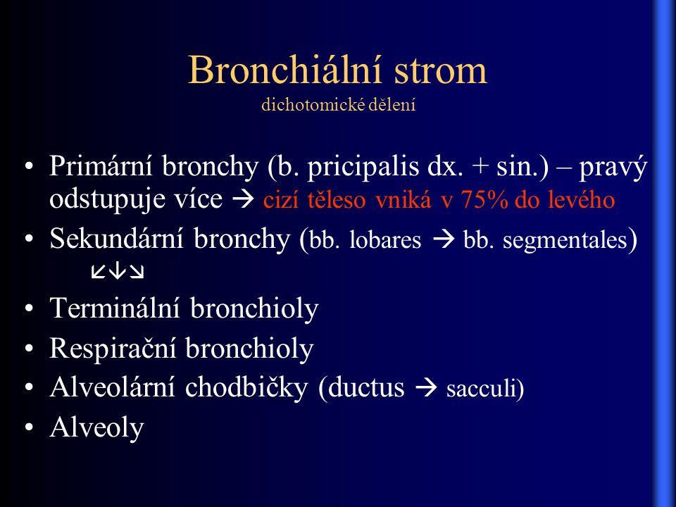 Bronchiální strom dichotomické dělení